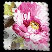 Paeonia Rose Curtains slat image